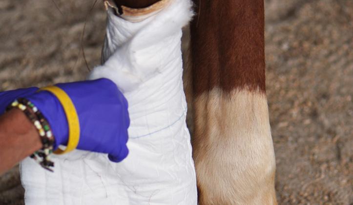 Chirurgie - Service aux animaux de la ferme & équins - Hôpital vétérinaire de Sherbrooke